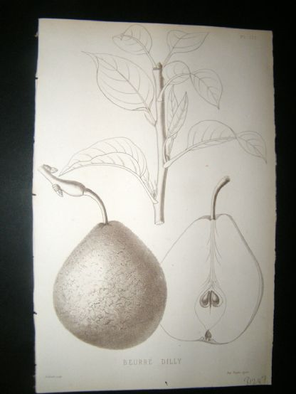 Pomologie de La France C1865 Fruit Print. Beurre Dilly, Pear 171 | Albion Prints